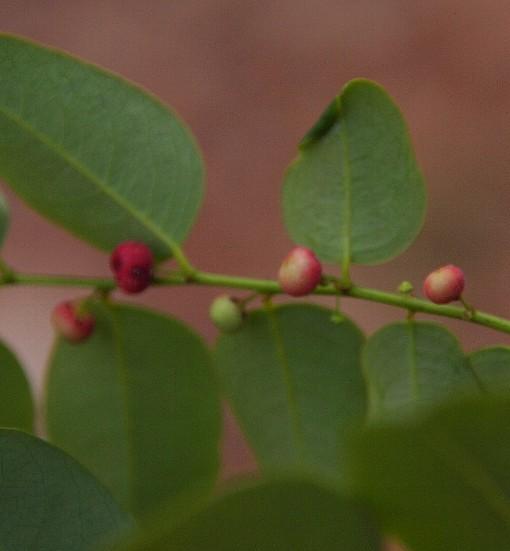 Phyllanthus_microcarpus3