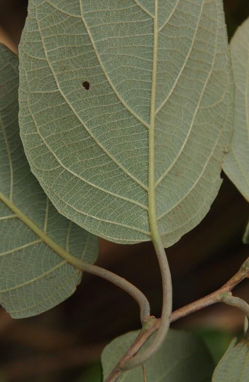 Actinidia_latifolia2