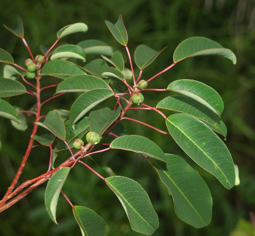 Triadica_cochinchinensis