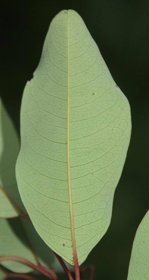 Triadica_cochinchinensis2