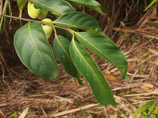 Artocarpus_gomeziana