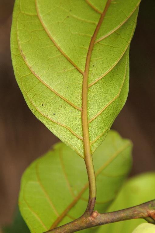Artocarpus_gomeziana2