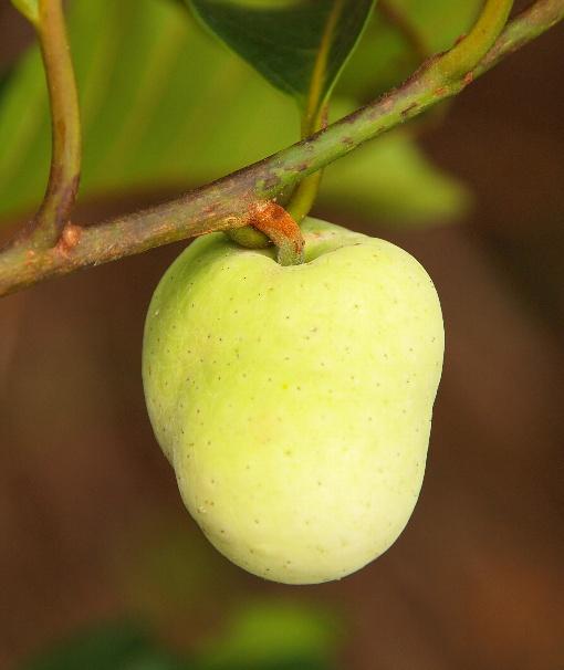 Artocarpus_gomezianus3