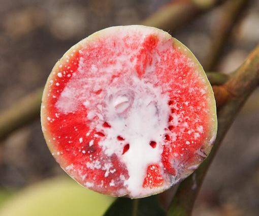 Artocarpus_gomezianus4