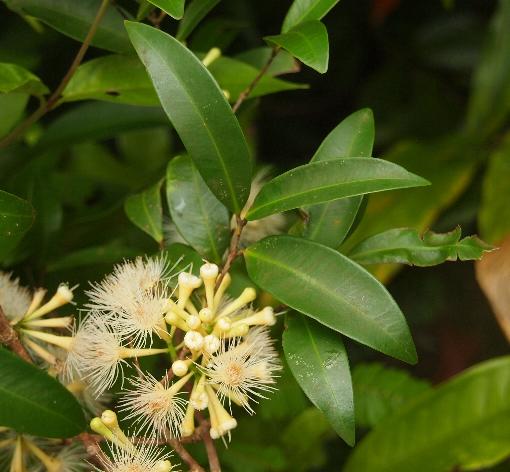 Syzygium_claviflorum1