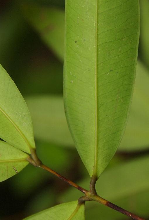 Syzygium_claviflorum2