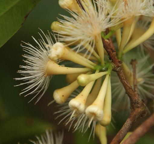 Syzygium_claviflorum3