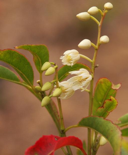 Elaeocarpus_dubius4