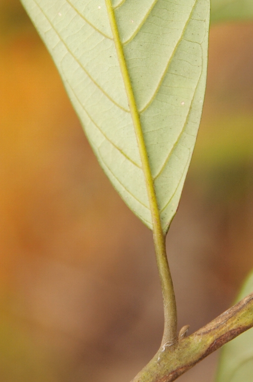 Huodendron_tomentosum2
