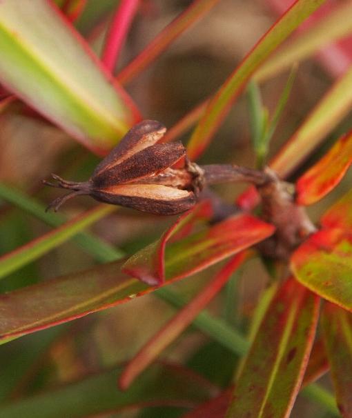 Ploiarium_alternifolium3