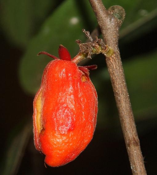 Roureopsis_actipetala3