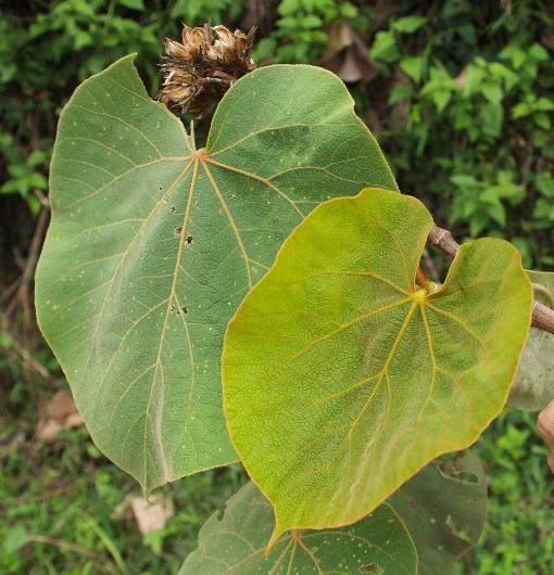 Hibiscus_macrophyllus