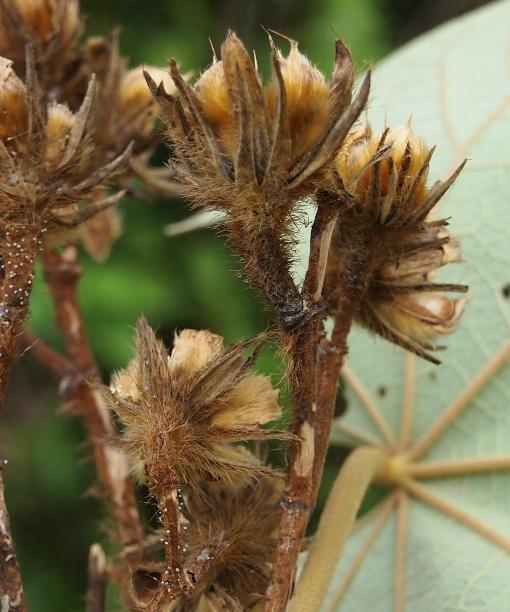 Hibiscus_macrophyllus4