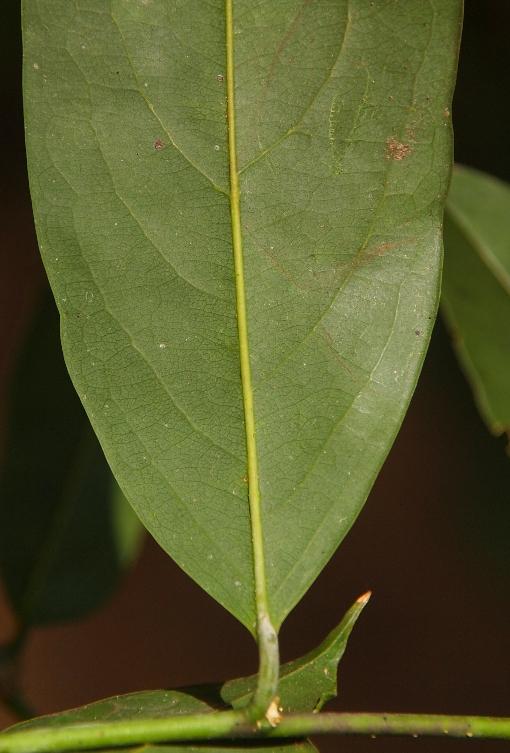 Xanthophyllum_sylvestre2