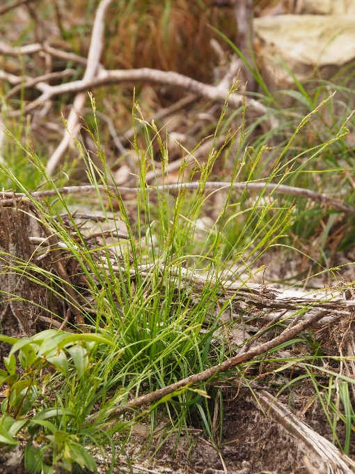 Carex_cambodiensis