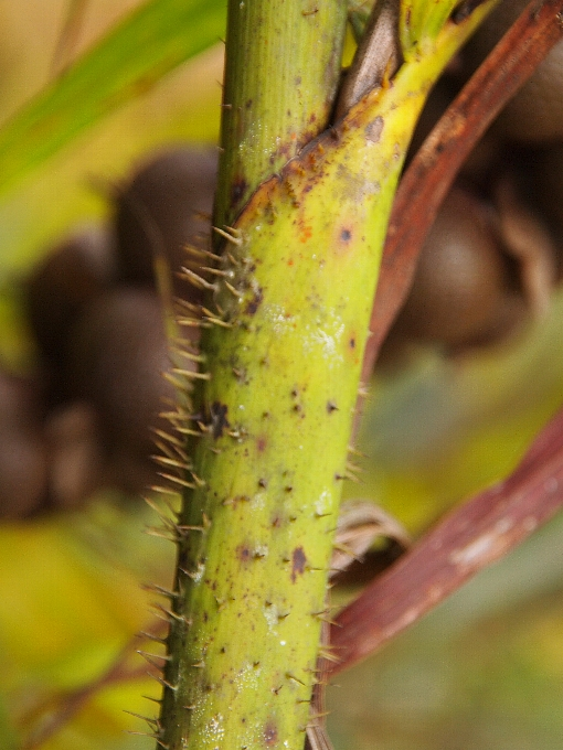Plectocomiopsis_geminiflora2