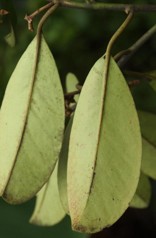 Stemonurus_malaccensis2