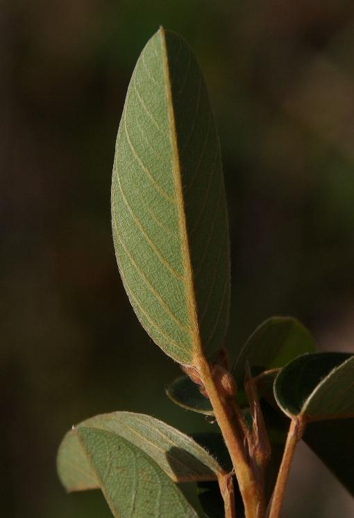 Codariocalyx_gyroides2