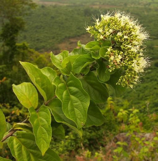Glossocarya_mollis
