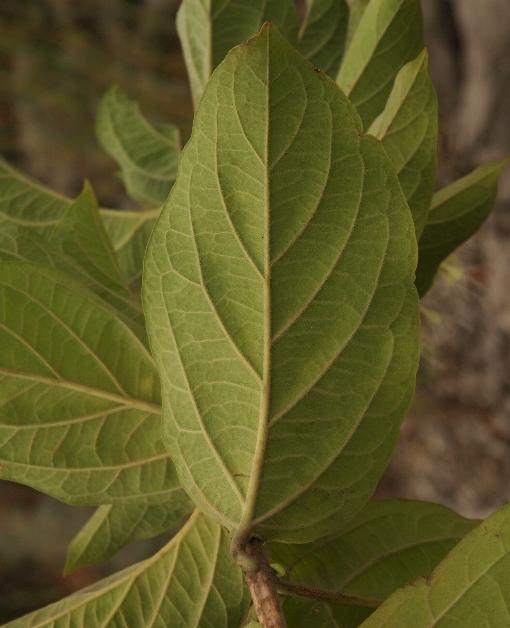 Glossocarya_mollis2