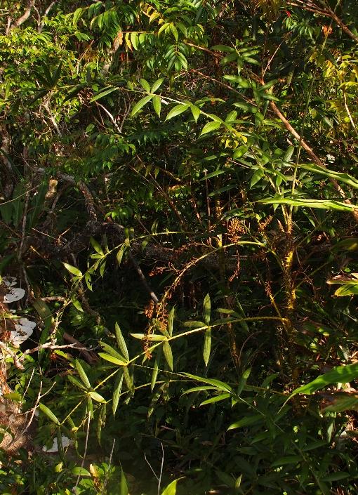 Calamus_palustris
