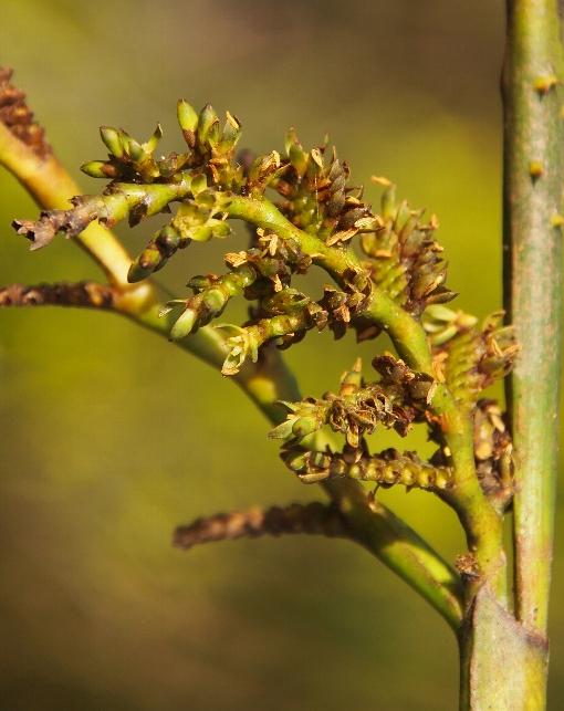 Calamus_palustris5