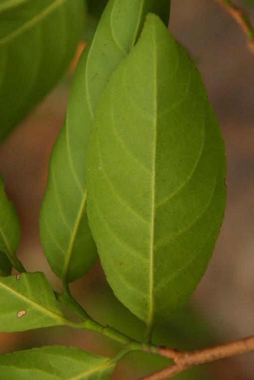 Rinorea_bengalensis2