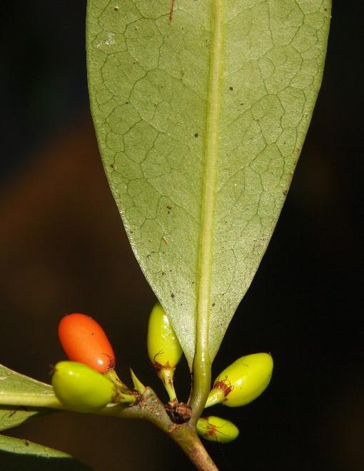 Erythroxylon_cambodiana2