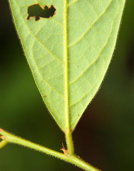 Clesitanthus_tomentosus2