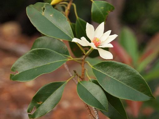 Magnolia_mediocris