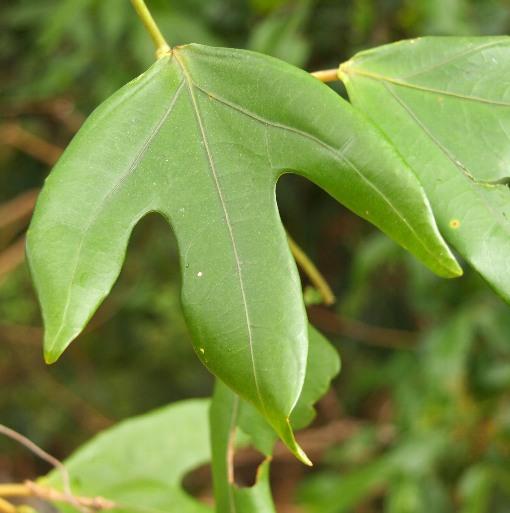 Adenia_heterophylla2