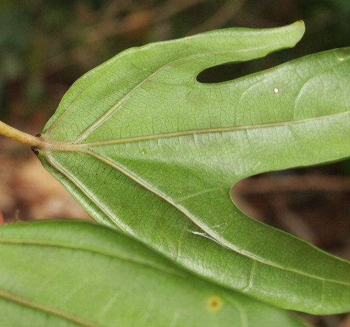Adenia_heterophylla3