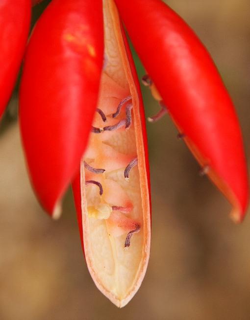 Adenia_heterophylla4