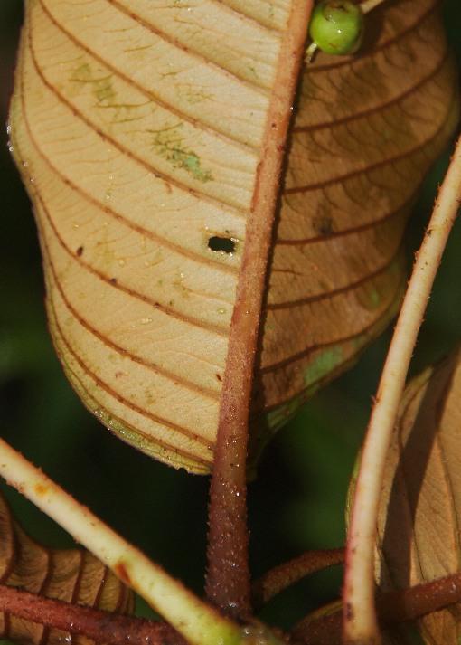 Saurauia_napaulensis2