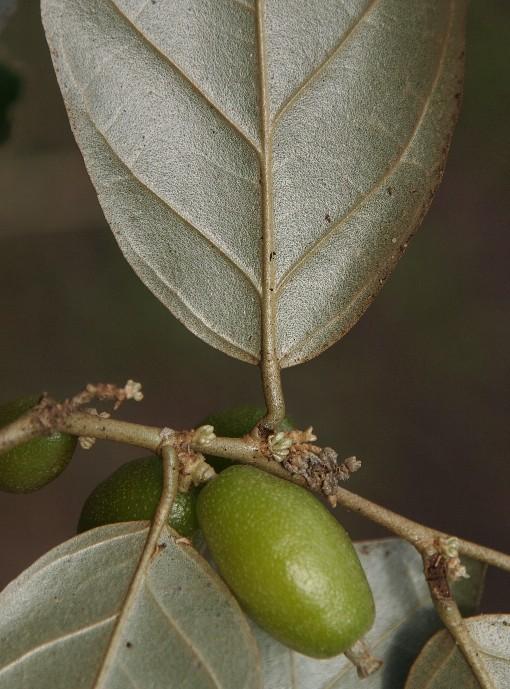 Elaeagnus_latifolia2