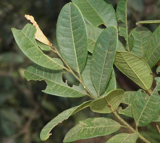 Craibiodendron_stellatum
