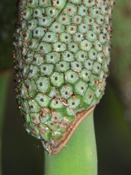 Rhaphidophora_megaphylla5