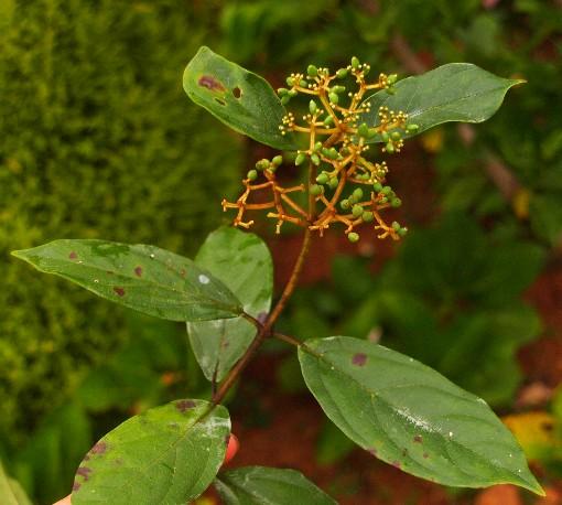 Viburnum_cylindricum