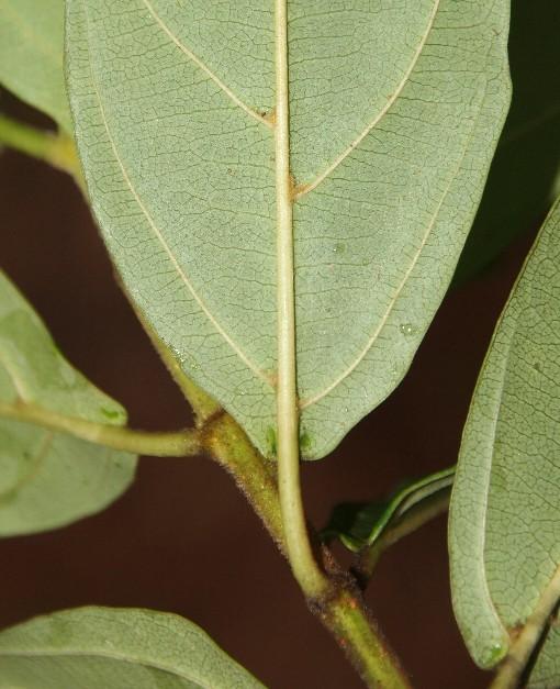Viburnum_cylindricum2