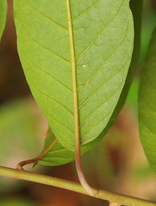 Vernonia_arborea2