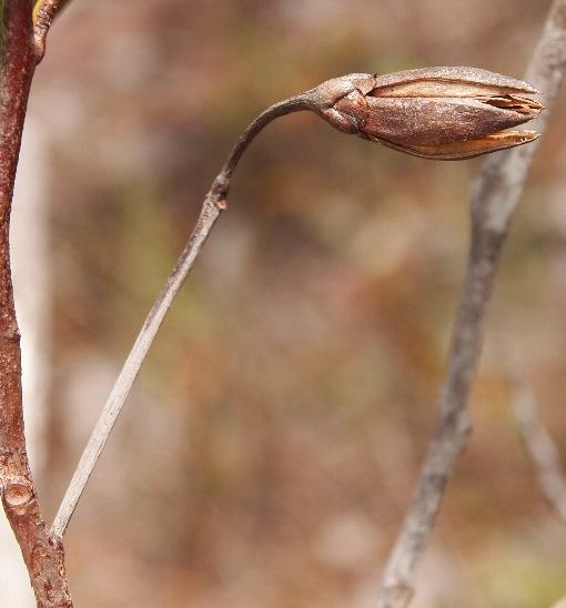 Ixonanthus_reticulatus3