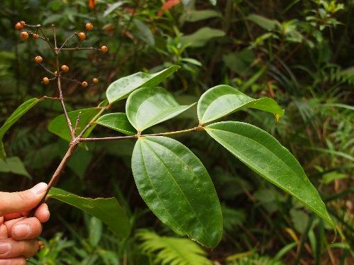 Pternandra_multiflora