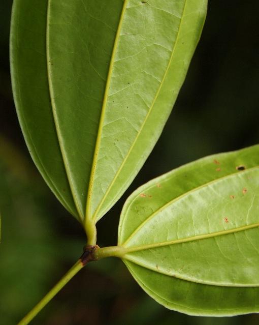 Pternandra_multiflora2