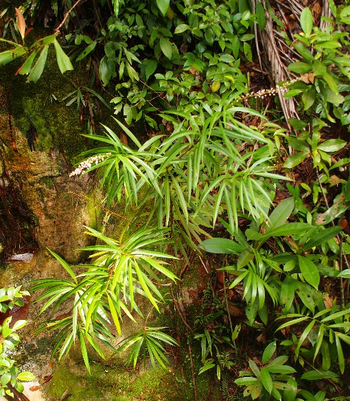 Schuurmansiella_angustifolia