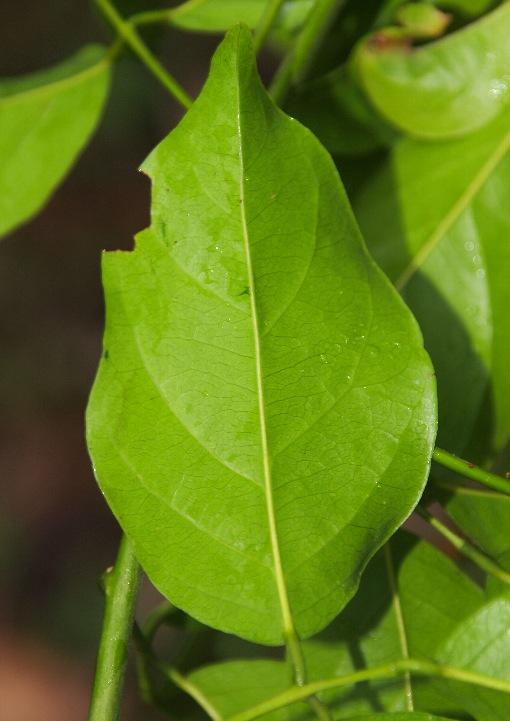 Millettia_cochinchinensis2