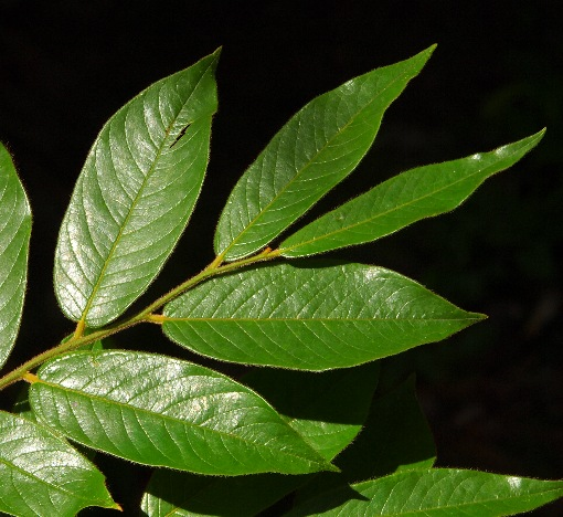 Diospyros_dasyphylla