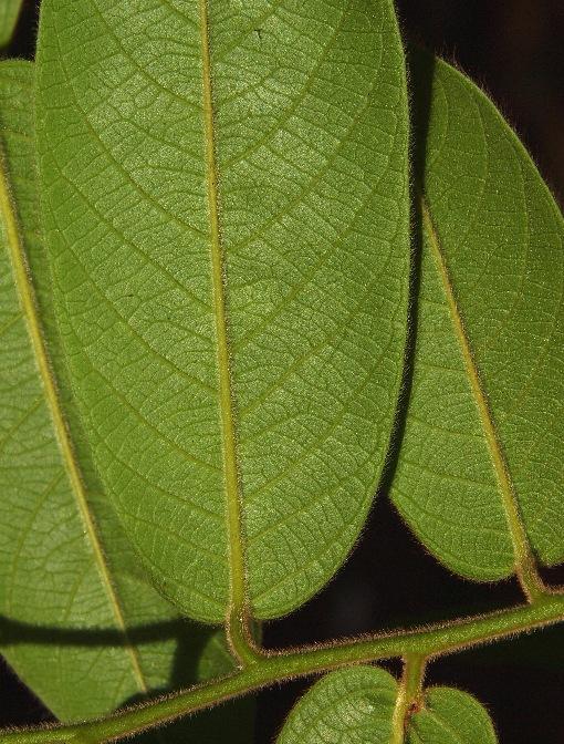 Diospyros_dasyphylla2