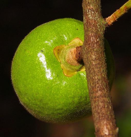 Diospyros_dasyphylla4