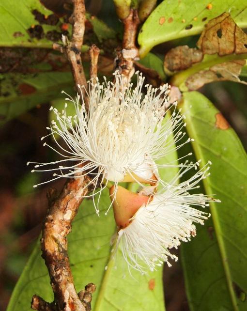 Syzygium_formosum3