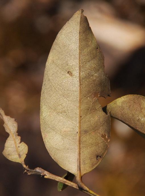 Lithocarpus_leiophyllus2